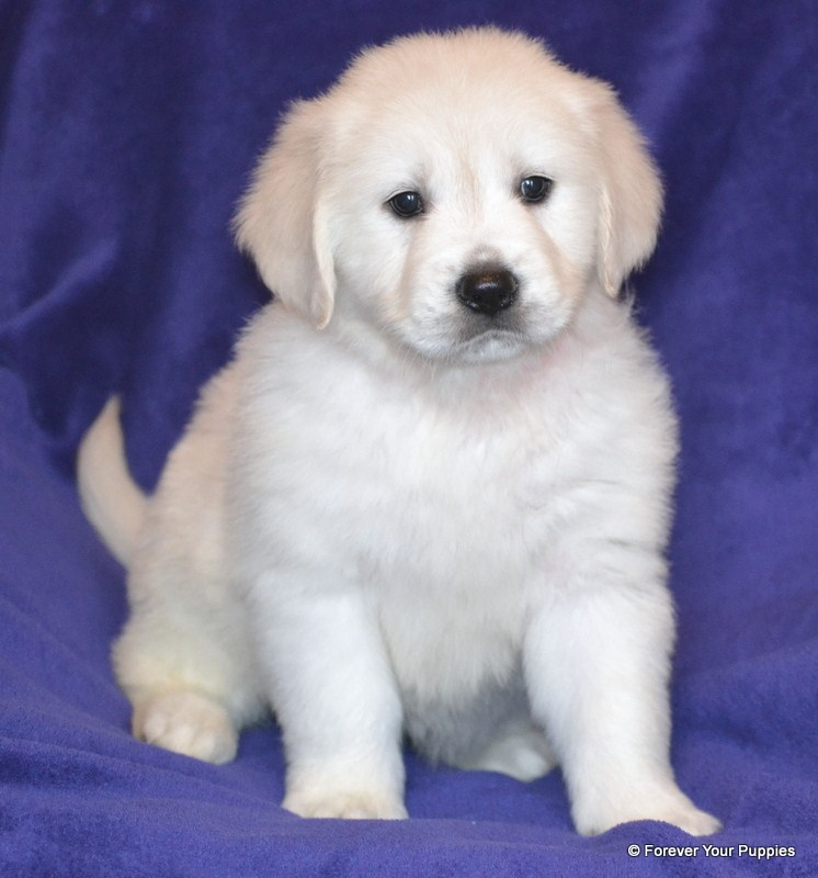 Forever Your Puppies English Golden Retriever Puppies