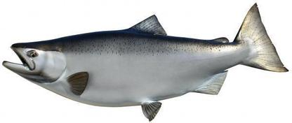 lake ontario chinook king salmon