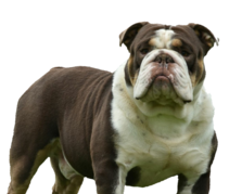 Chocolate Tri olde English bulldog stud