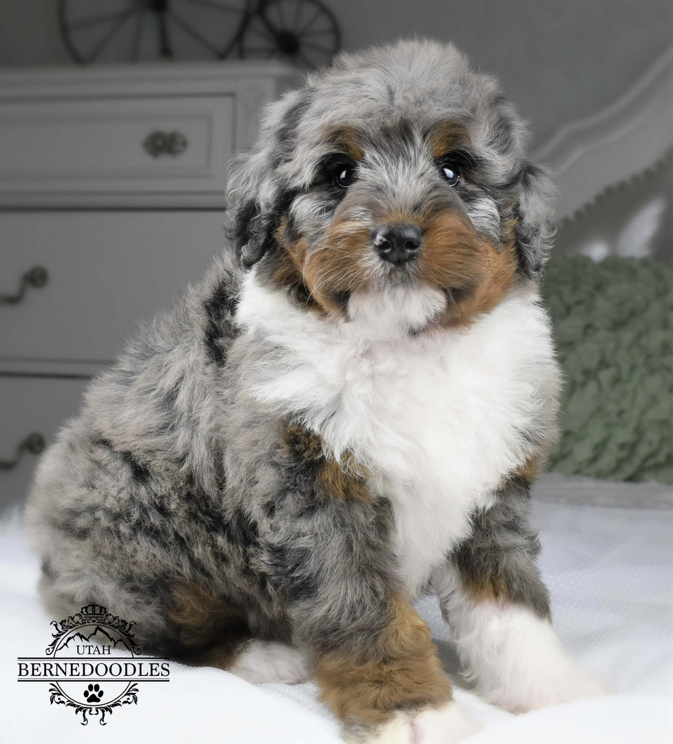 Bernedoodles Pricing Bernedoodle Puppies