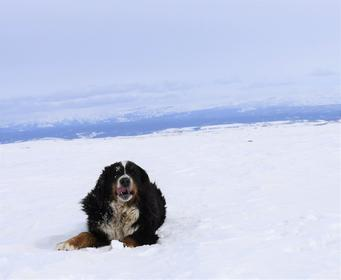 Lulu Bernese in Snow