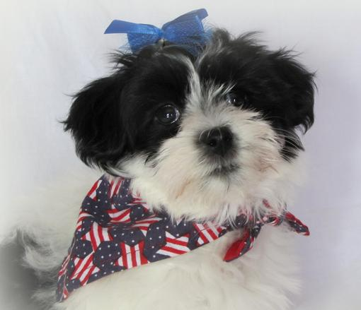 So Cute Havanese