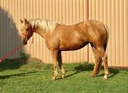 dual quarter horse bobby lewis