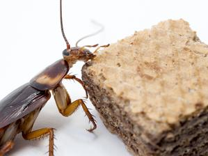 Cockroach and chocolate wafer