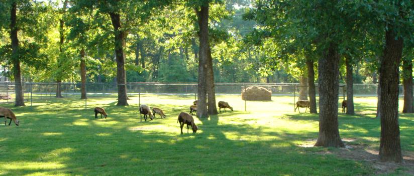 Breeding Sheep - Lone Star Farm