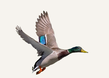 New Mexico Waterfowl