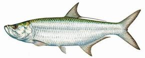 An illustration of a Tarpon that you will catch near Tampa