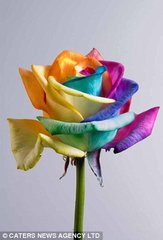 Multi colour rainbow rose (in sleeve)