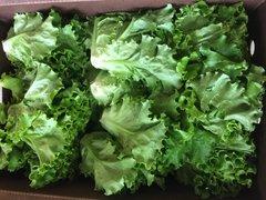 Veg.o_Two EE's Farm Organic Green Leaf 1 Count 本地Two EE农场有机绿叶生菜1颗