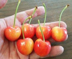 Pro_Rainier Cherry 9lbs box 空运最高级品质9Row甜脆黄樱桃9磅礼品箱