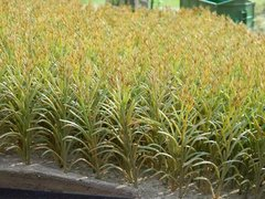 23288 50x Green Maize Plants 1:32 Scale by Juweela