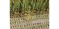 23289 50x Light Brown Maize Plant Crops 1:32 Scale by Juweela