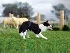 WMA14 Border Collie Dog Lucy by HLT Miniatures