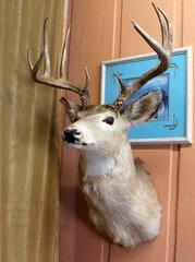 5 x 6 Point Deer Mount