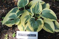 Autumn Frost [M-L]