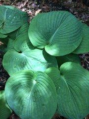 Sea Lotus Leaf [L]