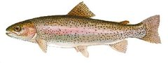 80 live and swimming Rainbow trout For January  2018 delivery