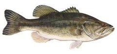 75 live largemouth bass (Micropterus salmoides) for May 2018 delivery