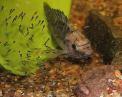50 Tilapia males and females for sale