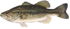 1,500 live Largemouth Bass for sale April or May 2018 shipping