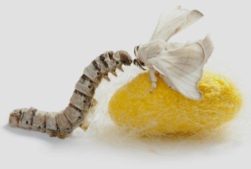 silkworm butterfly
