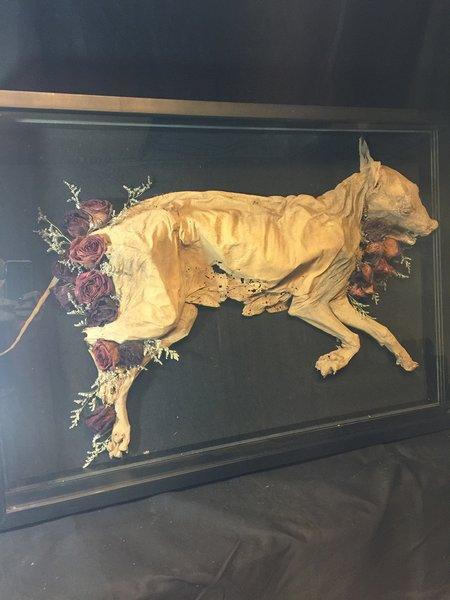 Mummified Dod Specimen