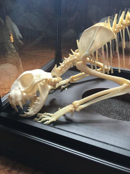 SOLD Cat Skeleton
