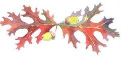 Oak leaves with acorns