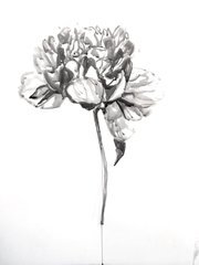 Peony in Ink