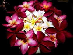 103 Plumeria Small Spray
