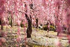 72 Japanese Cherry Blossom Small Gel
