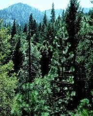 49 Balsam Cedar Small Gel