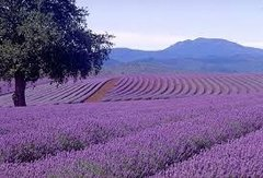 22 Lavender Aroma Crystals