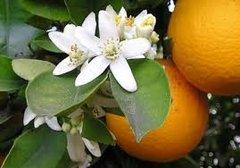 81 Orange Blossom Large Scented Gel