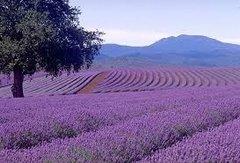 22 Lavender Large Scented Gel