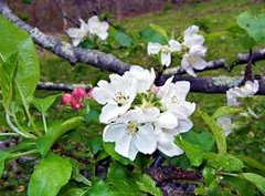 46 Apple & Orange Blossom Medium Gel