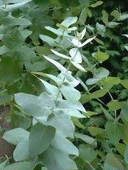 67 Eucalyptus Medium Gel