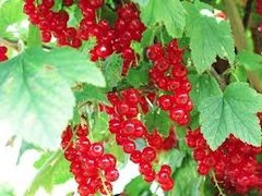 94 Red Currant Large Refresher Spray