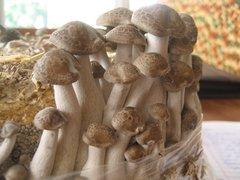 """Shimeji """"brown"""" - (Hypsizygus tessulatus) - 5lb"""