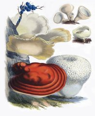 Polypores and Puffballs Postcard