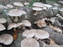Outdoor Shiitake Spawned Log - PICKUP AT FARM ONLY, THIS PRODUCT DOES NOT SHIP