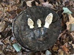 Morel Mushroom Cluster