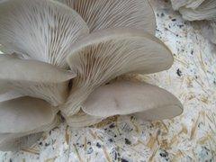 "Oyster ""Phoenix - Commercial Indoor""- (Pleurotus pulmonarius) - 5lb"