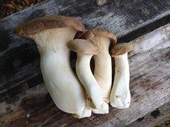 "Oyster ""King"" - (Pleurotus eryngii) - 5lb"