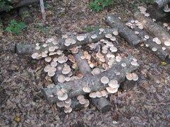 Mushroom Plugs - 1000 count