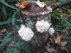 """Lion's Mane """"Tufted"""" Plugs - (Hericium americanum)"""