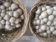 """Shimeji """"brown"""" Plugs - (Hypsizygus tessulatus)"""