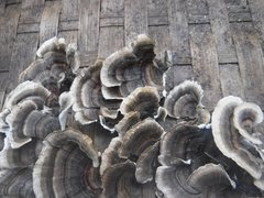 Turkey Tail Plugs - (Trametes versicolor)