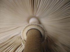Parasol - (Amerilepiota procera) - 5lb