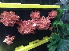 "Oyster ""Pink - warm/hot"" - (Pleurotus djamor) - 5lb"